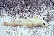 01874-07710 Polar Bear (Ursus maritimus) lying in Willows (scratching its back)  Churchill  MB