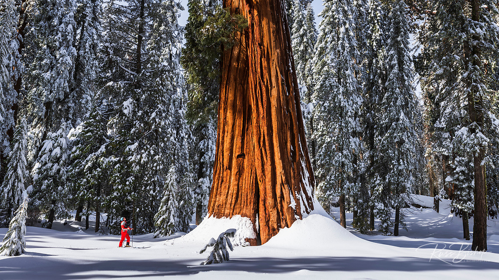 Skier under a Giant Sequoia in Circle Meadow, Sequoia National Park, California USA