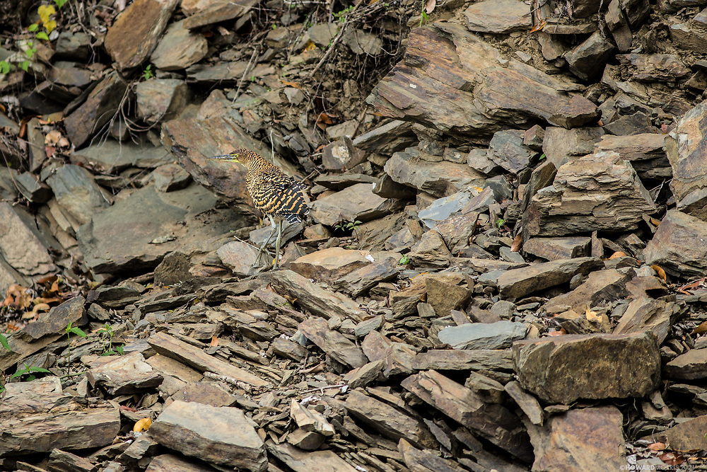 A Tiger Heron (Tigrisoma mexicanum) blends into the rocks. Raspacullo river, Belize.