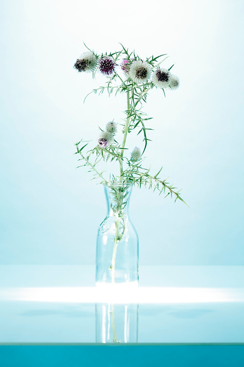 still life with a natural wild thistle plant with flowering head / Thistle with blossoms
