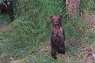 A brown bear spring cub in Katmai National Park, Alaska.