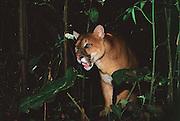 Puma<br /> Felix (puma) concolor<br /> Amazon Rain Forest, ECUADOR. South America<br /> RANGE;  S. Canada to Patagonia in Chile/Argentina