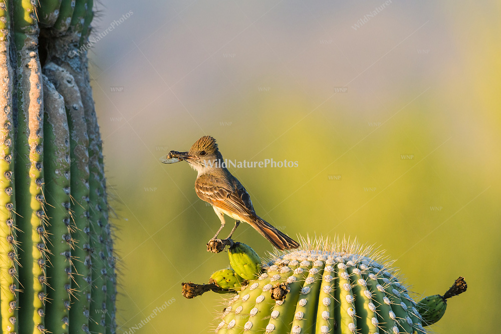 A Brown-crested Flycatcher (Myiarchus tyrannulus) perches before bringing a crushed cidada to its nest in a Saguaro  (Carnegiea gigantea). (Arizona)