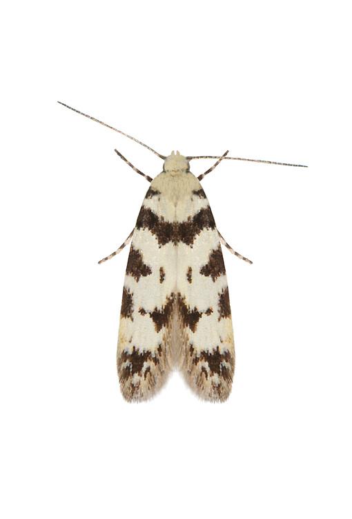 35.152 (0764)<br /> Pseudotelphusa scalella