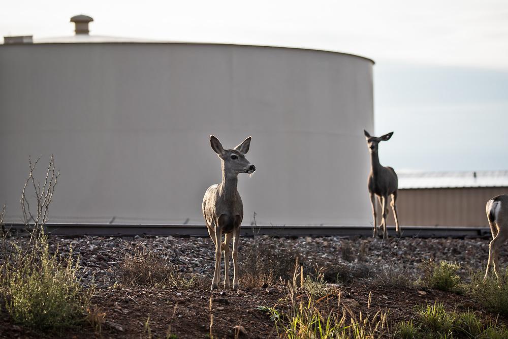 Deer next to a gas storage tank in Alpine Texas.