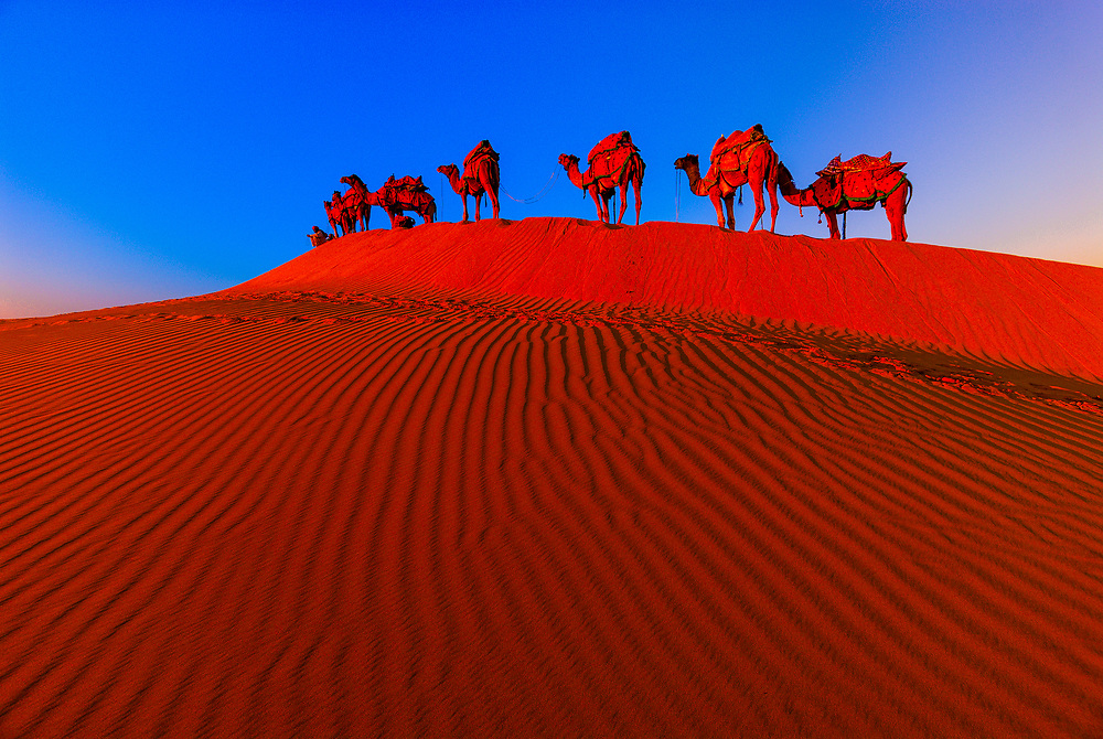 A line of camels mounts a rise in the Kanoi Sand Dunes, Thar Desert near Jaisalmer, Rajasthan.