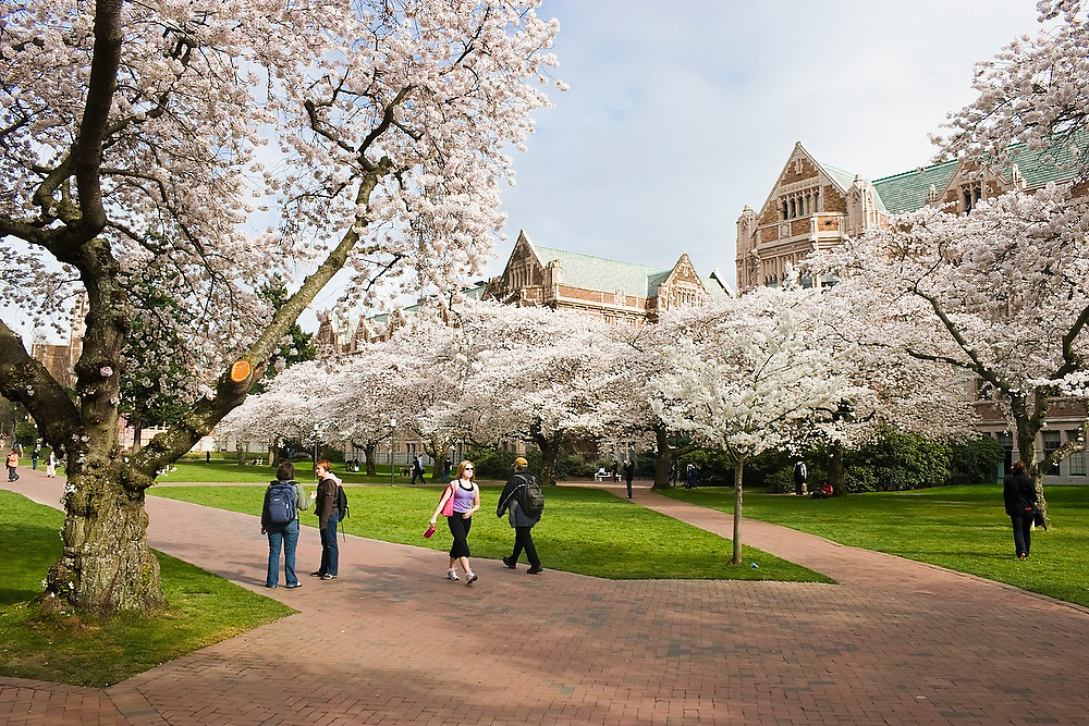 Students walk down the brick path among the blooming cherry trees in the Quad at the University of Washington, Seattle, Washington. Smith and Miller Hall are visible in the background.