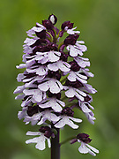 Lady Orchid (Orchis purpurea) in flower, Denge Woods, Bonsai Bank, Kent, UK, stacked focus image