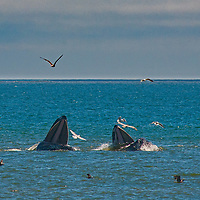 Humpback whales (Megaptera novaeangliae) surface to feed, surrounded by birds going after adjacent fish that are feeding.