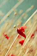 Poppy blossoms in a summer breeze - texturized photograph
