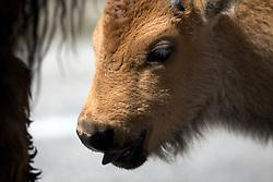Bison Calf, Yellowstone National Park