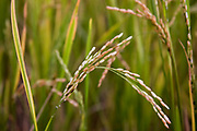Rice stalk closeup photographed in a rice paddy in India