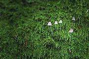 Fungus Mycena metata growing through green moss on side of tree, Vidzeme, Latvia Ⓒ Davis Ulands | davisulands.com