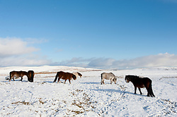 © Licensed to London News Pictures. 30/01/2019. Builth Wells, Powys, Wales, UK.  Hardy Welsh Mountain Ponies forage for grass on the wild moorland of the Mynydd Epynt range near Buith Wells in Powys, Wales, UK. as snow continues to fall in Powys, Wales, UK. credit: Graham M. Lawrence/LNP
