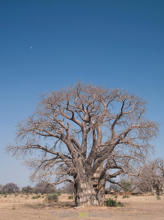 A large Baobab tree in Nyaro village, Kordofan region, Sudan