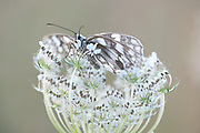 Marbled White Butterfly, Melanargia galathea, Brasov, Transylvania, Romania, resding on white flower, soft, backlight, underside, underneath