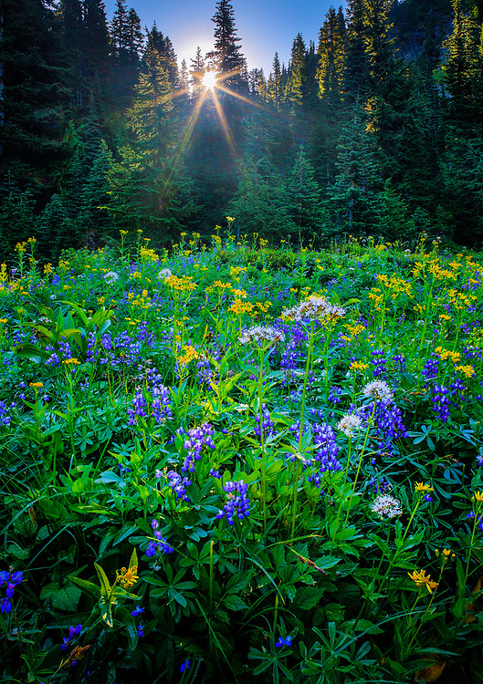 Wildflower meadow in the Tatoosh Range in Mount Rainier national park, Washington