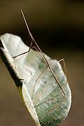 Stick Insect, or Walking Stick, phasmid, Kanha Tiger Reserve, National Park, Madhya Pradesh, India