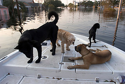 05 Sept  2005. New Orleans, Louisiana. Post hurricane Katrina.<br /> Animal rescue boat. Rescued dogs relax on the front of a boat which saved them from the devastating floods in Uptown New Orleans.<br /> Photo; ©Charlie Varley/varleypix.com