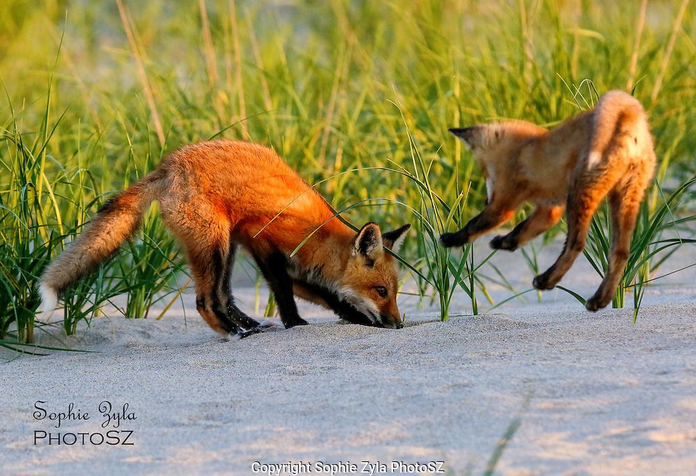 Red Fox Sibling Surprise