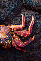 Portrait of Sally Lightfoot Crab (Grapsus grapsus) in the Galapagos Islands, Ecuador.