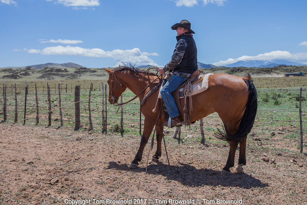 Quarter horse and rider keeping tension on the lariat.