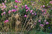 Rosa 'Royal Jubilee' an Englsih shrub rose bred by David Austin with Stipa gigantea - September
