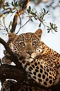 Female leopard resting in a tree, Etosha National Park