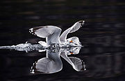 Herring gull coming into land on water Larus argentatus, Norway