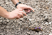 Purple emperor butterfly (Apatura iris) and photographer. Bookham Common, Surrey, UK.