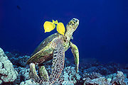 green sea turtle, Chelonia mydas, being cleaned <br /> by yellow tangs, Zebrasoma flavescens, Turtle Pinnacles, Kona, Big Island, Hawaii ( Pacific )
