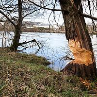 Moncrieffe Island Beavers