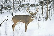 Whitetail buck in snow during the autumn rut in Minnesota