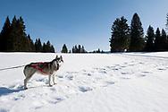 Husky sledding with JuraChiens at Les Fourgs, near the Swiss border, Montagnes du Jura, France © Rudolf Abraham