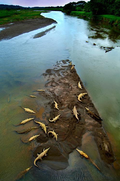 Costa Rica, American Saltwater Crocodiles, Rio Tarcoles, Carara Wildlife Refuge
