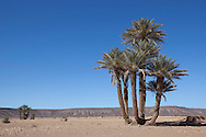 Group of date palms (Phoenix dactylifera) in the Sahara desert, Tagounite, Morocco.