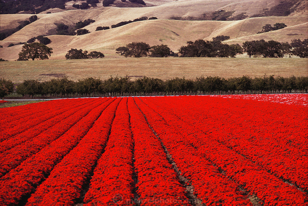 Rows of flower plants grown for seed in Gilroy, California.