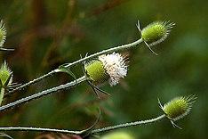 Teasel Royalty Free Stock Images