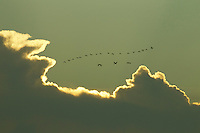 Scarlet Ibises (Eudocimus ruber) flying though the sky in a line with backlit clouds in Delta Amacuro, Venezuela.