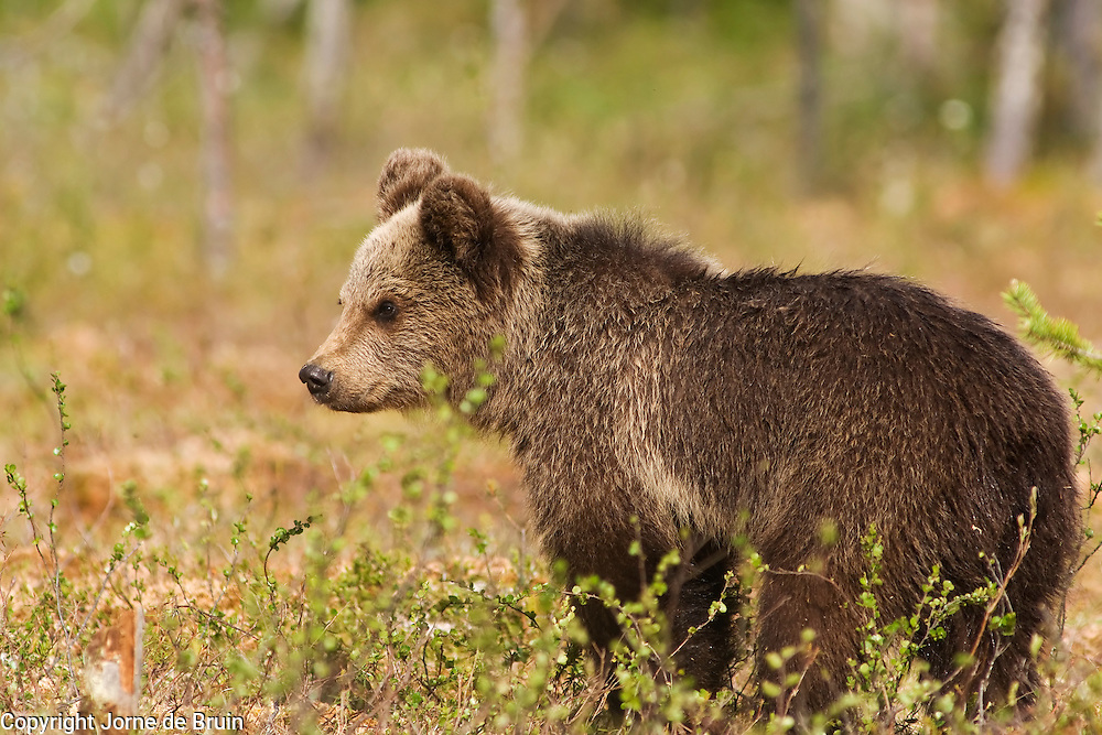 An Eurasian Brown Bear Cub stands in a swamp in Finland.