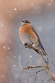 Bluebird, Western / Sialia mexicana