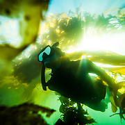 A female freediver swimming in the kelp forest off of La Jolla, San Diego, CA.