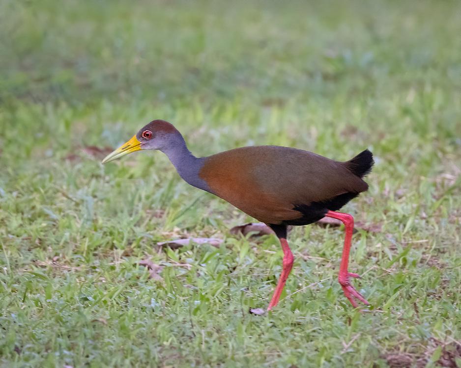 Aramides cajaneus,  Costa Rica, June 2021. Laguna Lagarto