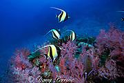 moorish idols, Zanclus cornutus, and soft corals, Surin Islands, Thailand ( Andaman Sea, Indian Ocean )