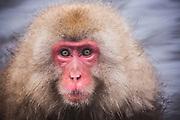 Facial portrait of a snow monkey (Macaca fuscata) soaking in a hot spring, Jigokudani, Yamanouchi, Japan