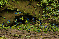 Cobalt-winged Parakeets (Brotogeris cyanoptera) feeding on clay at the clay lick east of Anangu and south of the Napo River, Yasuni National Park, Orellana Province, Ecuador
