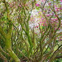 Wild Rhododendron in full bloom, Killarney Co. Kerry, Ireland