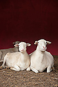 St. Croix Sheep raised for the meat, not wool.