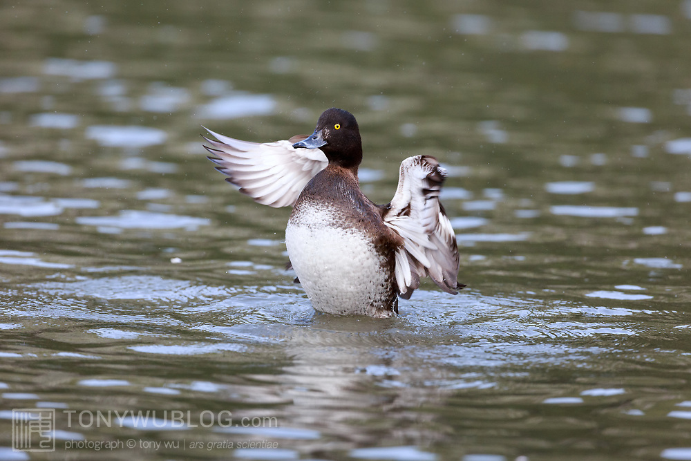 Female tufted duck (Aythya fuligula) flapping her wings after diving underwater