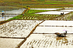 August 3, 2017 - Nanning, Nanning, China - Nanning, CHINA-August 3 2017: (EDITORIAL USE ONLY. CHINA OUT) ..A peasant is busy with farming in rain in Nanning, southwest China's Guangxi, August 3rd, 2017. (Credit Image: © SIPA Asia via ZUMA Wire)